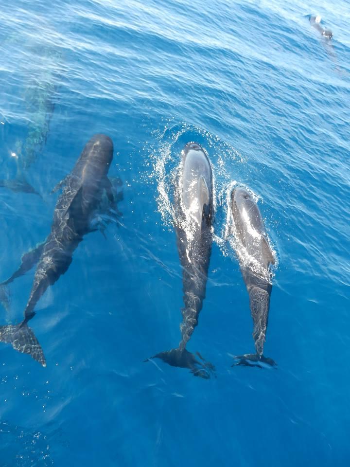 La mer de Ligurie, terrain de jeu des dauphins