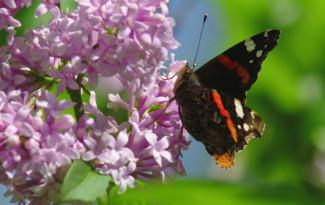 259069103-lilas-papillon-insecte-beaute-de-la-nature-fleur