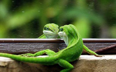 Adopter un reptile lézard domestique